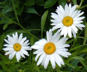 Www.flowerwower.com shasta-daisy
