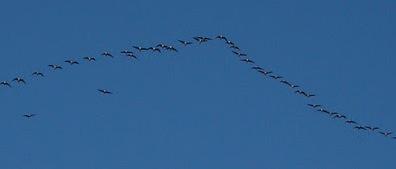 Geese Norfolk